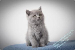 Pawcio Niebieskie Misie-koty brytyjski (11)