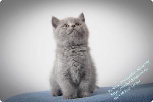 Pawcio Niebieskie Misie-koty brytyjski (12)