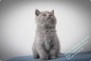 Pawcio Niebieskie Misie-koty brytyjski (13)