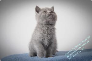 Pawcio Niebieskie Misie-koty brytyjski (14)