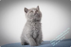 Pawcio Niebieskie Misie-koty brytyjski (15)