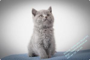 Pawcio Niebieskie Misie-koty brytyjski (16)