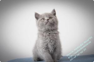 Pawcio Niebieskie Misie-koty brytyjski (17)