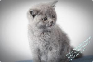Pawcio Niebieskie Misie-koty brytyjski (2)