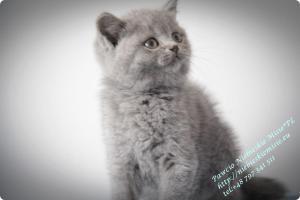Pawcio Niebieskie Misie-koty brytyjski (3)