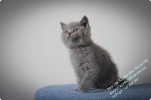 Pawcio Niebieskie Misie-koty brytyjski (4)