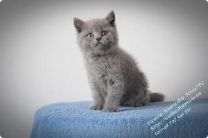 Pawcio Niebieskie Misie-koty brytyjski (6)