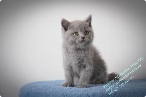 Pawcio Niebieskie Misie-koty brytyjski (7)