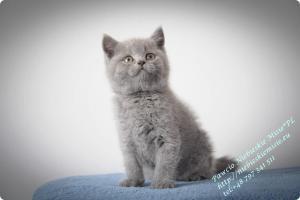 Pawcio Niebieskie Misie-koty brytyjski (8)