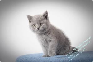 Pawcio Niebieskie Misie-koty brytyjski (9)