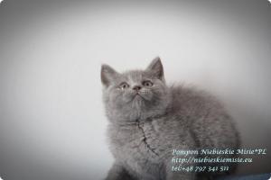 Pompon Niebieskie Misie-koty brytytjskie