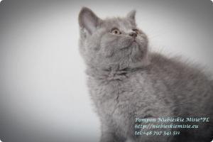 Pompon Niebieskie Misie-koty brytytjskie (1)