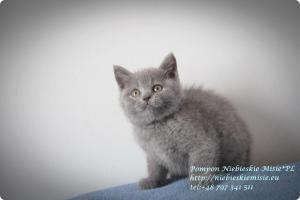 Pompon Niebieskie Misie-koty brytytjskie (3)