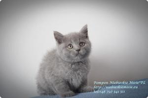 Pompon Niebieskie Misie-koty brytytjskie (4)