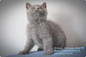 Pompon Niebieskie Misie-koty brytytjskie (2)
