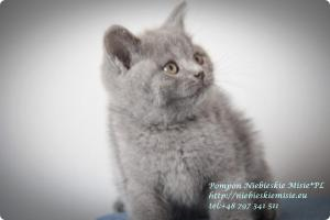 Pompon Niebieskie Misie-koty brytytjskie (5)