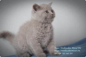 Popo Niebieskie Misie-koty brytyjskie (1)