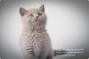 Popo Niebieskie Misie-koty brytyjskie (10)