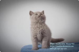Popo Niebieskie Misie-koty brytyjskie (11)