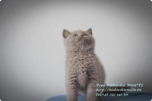 Popo Niebieskie Misie-koty brytyjskie (12)