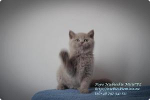 Popo Niebieskie Misie-koty brytyjskie (13)