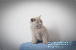 Popo Niebieskie Misie-koty brytyjskie (14)