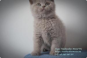 Popo Niebieskie Misie-koty brytyjskie (16)