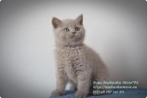Popo Niebieskie Misie-koty brytyjskie (17)