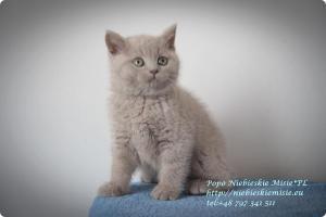 Popo Niebieskie Misie-koty brytyjskie (18)