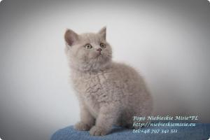 Popo Niebieskie Misie-koty brytyjskie (19)