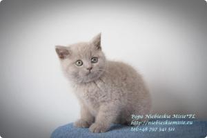 Popo Niebieskie Misie-koty brytyjskie (20)