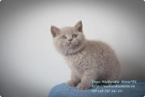 Popo Niebieskie Misie-koty brytyjskie (21)