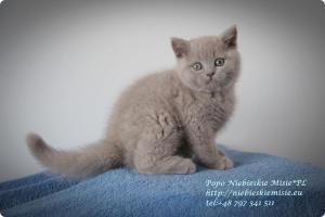 Popo Niebieskie Misie-koty brytyjskie (3)