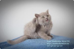 Popo Niebieskie Misie-koty brytyjskie (4)