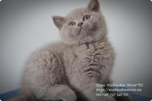 Popo Niebieskie Misie-koty brytyjskie (5)