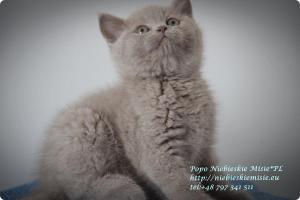 Popo Niebieskie Misie-koty brytyjskie (6)