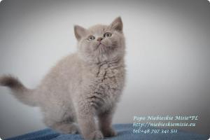 Popo Niebieskie Misie-koty brytyjskie (8)