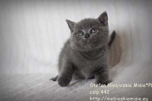 Koty brytyjskie niebieskie Stefan