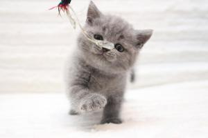 Koty brytyjskie niebieskie krótkowłose-miot U
