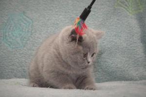 Koty Brytyjskie Niebieskie Betty Niebieskie Misie (10)