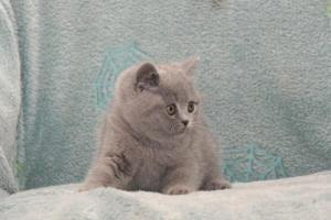 Koty Brytyjskie Niebieskie Betty Niebieskie Misie (23)
