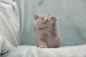 Koty Brytyjskie Niebieskie Betty Niebieskie Misie (27)