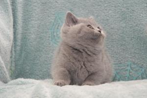 Koty Brytyjskie Niebieskie Betty Niebieskie Misie (32)