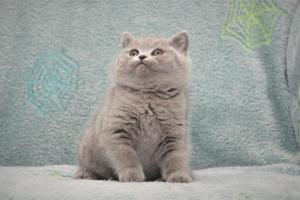 Koty Brytyjskie Niebieskie Betty Niebieskie Misie (9)