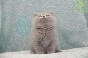 Koty Brytyjskie Niebieskie Betty Niebieskie Misie (12)