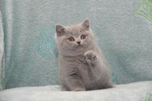 Koty Brytyjskie Niebieskie Betty Niebieskie Misie (13)