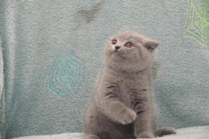 Koty Brytyjskie Niebieskie Betty Niebieskie Misie (14)