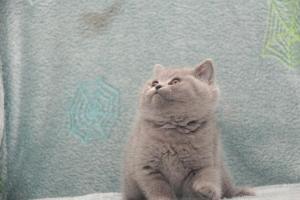 Koty Brytyjskie Niebieskie Betty Niebieskie Misie (16)