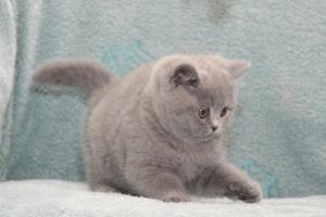 Koty Brytyjskie Niebieskie Betty Niebieskie Misie (17)