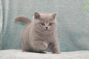 Koty Brytyjskie Niebieskie Betty Niebieskie Misie (18)